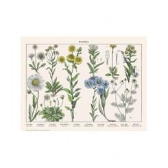 Naturplakat - Flora - Virgil Asters