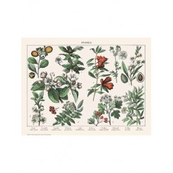 Naturplakat - Flora - Myrte