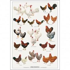 Koustrup miniplakat A4 – Økohøns