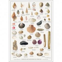 Koustrup miniplakat A4 – Havets muslinger og snegle