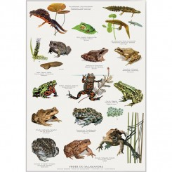 Koustrup miniplakat A4 - Frøer, tudser og salamandere