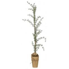 Cedertræ i potte